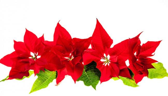 Der Weihnachtsstern – eine beliebte Winterpflanze