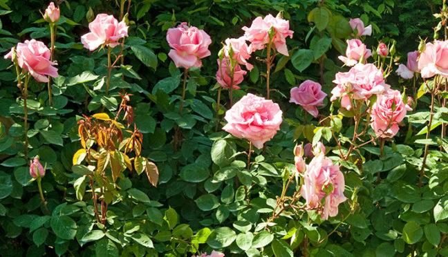 Das Rosarium – eine Zierde für jeden Garten