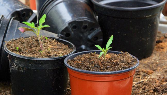 Tomaten pflanzen – was ist für Aussaat, Pflege und Ernte wichtig?