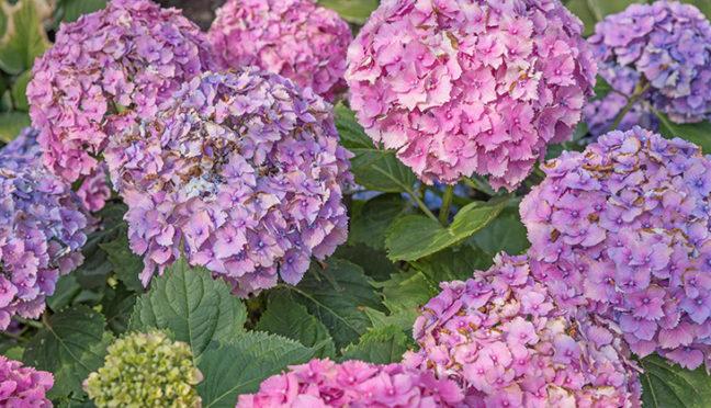 Hortensien schneiden – das sollten Hobbygärtner beachten